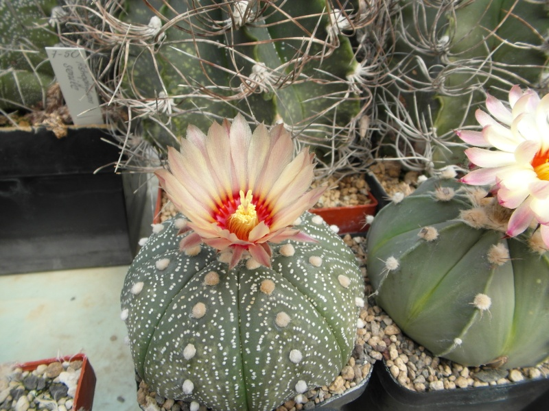 Cacti and Sukkulent in Köln, every day new flowers in the greenhouse Part 79 Bild1631