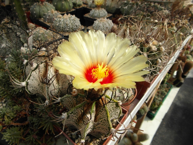 Cacti and Sukkulent in Köln, every day new flowers in the greenhouse Part 79 Bild1632