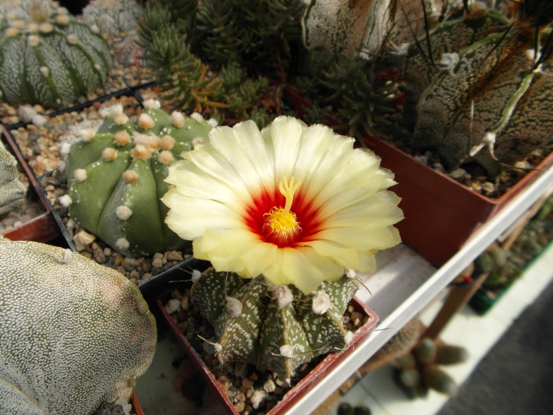 Cacti and Sukkulent in Köln, every day new flowers in the greenhouse Part 79 Bild1633