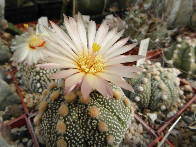 Cacti and Sukkulent in Köln, every day new flowers in the greenhouse Part 79 Bild1634
