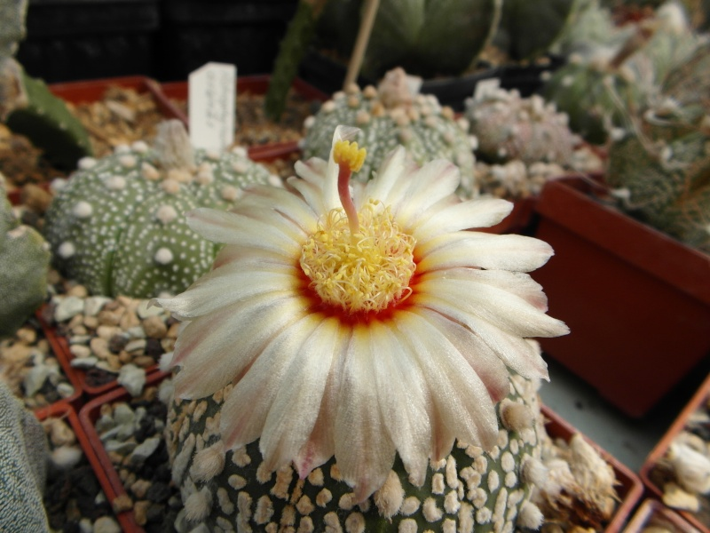 Cacti and Sukkulent in Köln, every day new flowers in the greenhouse Part 79 Bild1635
