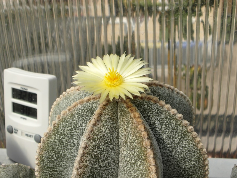 Cacti and Sukkulent in Köln, every day new flowers in the greenhouse Part 79 Bild1636
