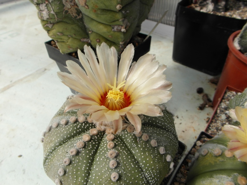 Cacti and Sukkulent in Köln, every day new flowers in the greenhouse Part 79 Bild1638