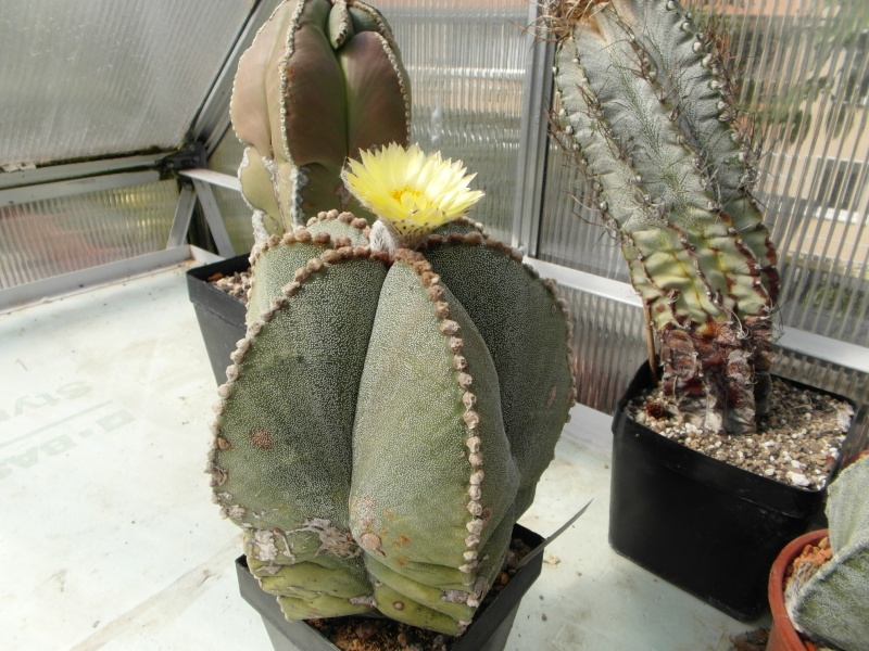 Cacti and Sukkulent in Köln, every day new flowers in the greenhouse Part 79 Bild1639