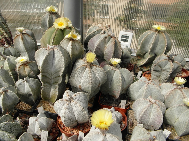 Cacti and Sukkulent in Köln, every day new flowers in the greenhouse Part 79 Bild1640