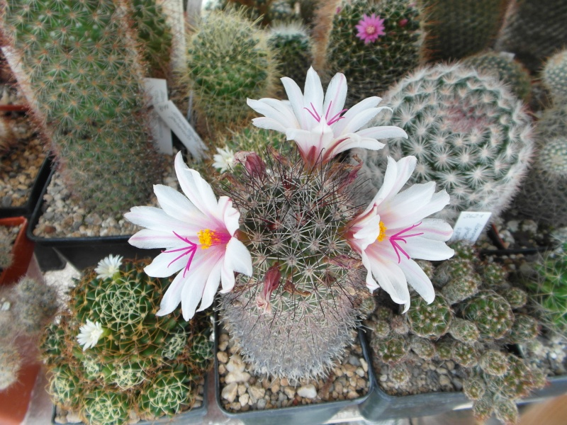 Cacti and Sukkulent in Köln, every day new flowers in the greenhouse Part 80 Bild1641