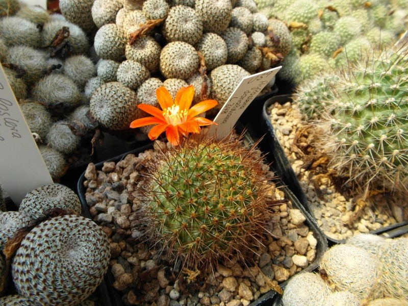 Cacti and Sukkulent in Köln, every day new flowers in the greenhouse Part 80 Bild1643