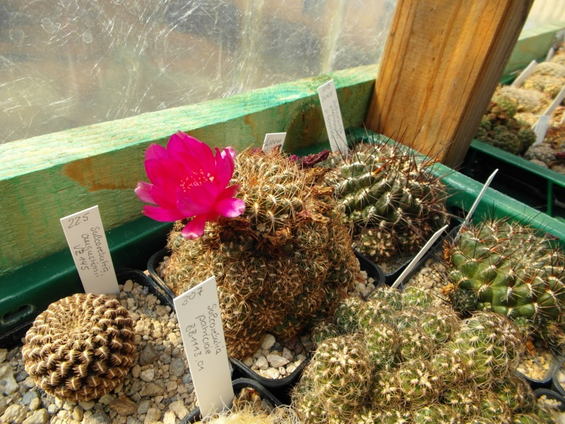 Cacti and Sukkulent in Köln, every day new flowers in the greenhouse Part 80 Bild1646