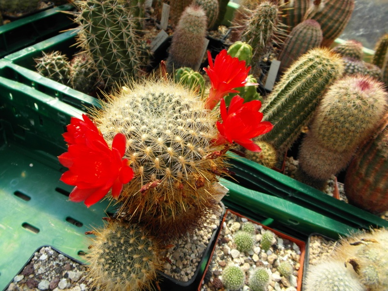 Cacti and Sukkulent in Köln, every day new flowers in the greenhouse Part 80 Bild1648