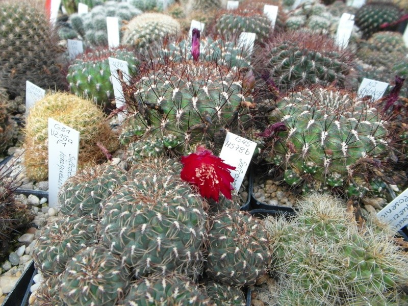Cacti and Sukkulent in Köln, every day new flowers in the greenhouse Part 80 Bild1651