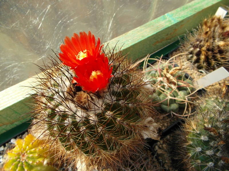 Cacti and Sukkulent in Köln, every day new flowers in the greenhouse Part 80 Bild1653