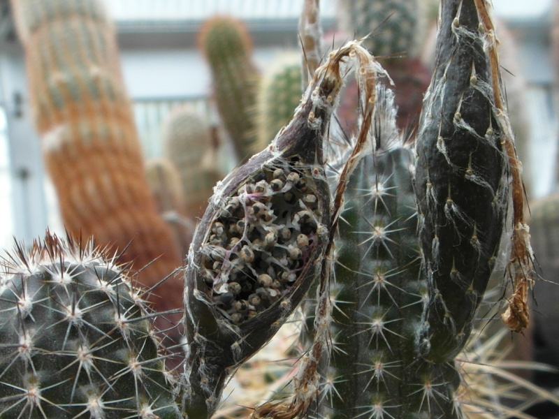 Cacti and Sukkulent in Köln, every day new flowers in the greenhouse Part 80 Bild1655