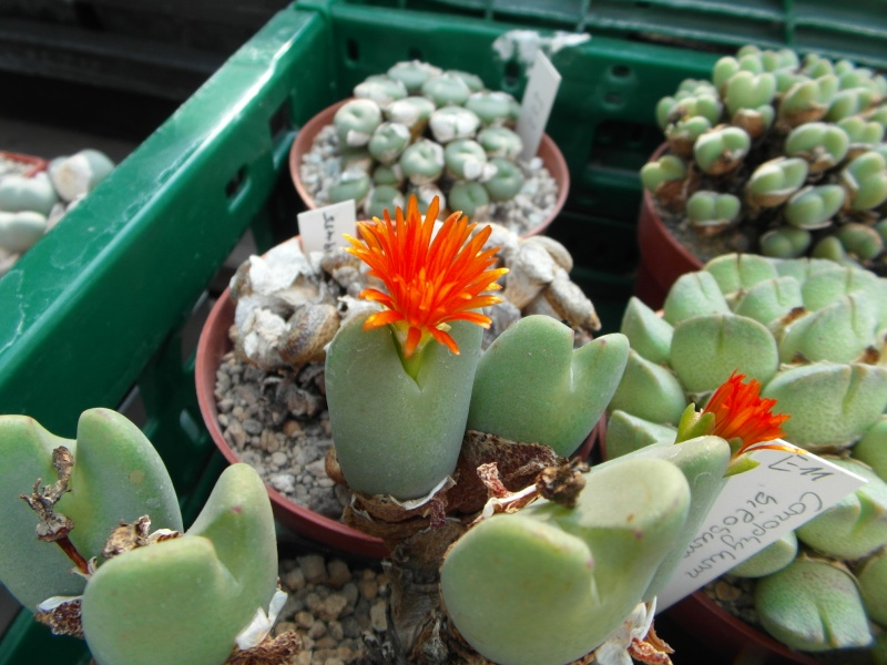 Cacti and Sukkulent in Köln, every day new flowers in the greenhouse Part 80 Bild1659