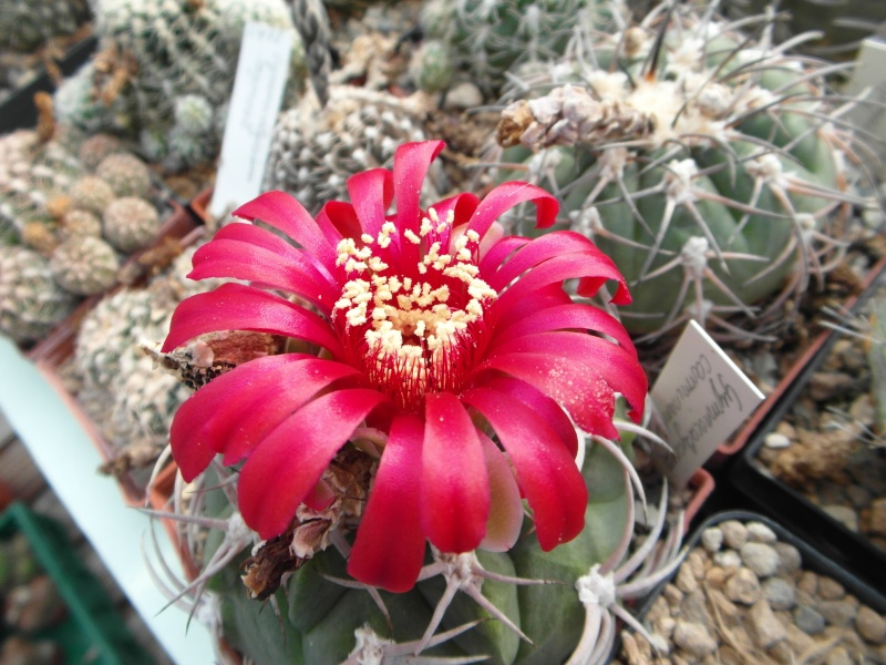 Cacti and Sukkulent in Köln, every day new flowers in the greenhouse Part 80 Bild1672