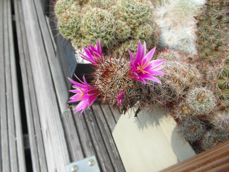 Cacti and Sukkulent in Köln, every day new flowers in the greenhouse Part 80 Bild1683