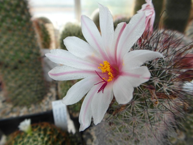 Cacti and Sukkulent in Köln, every day new flowers in the greenhouse Part 80 Bild1685