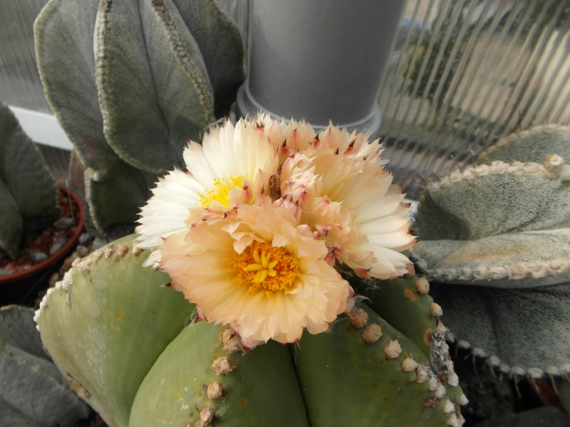 Cacti and Sukkulent in Köln, every day new flowers in the greenhouse Part 80 Bild1688