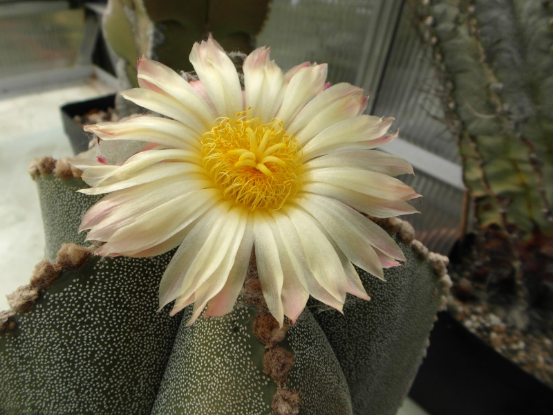 Cacti and Sukkulent in Köln, every day new flowers in the greenhouse Part 80 Bild1689