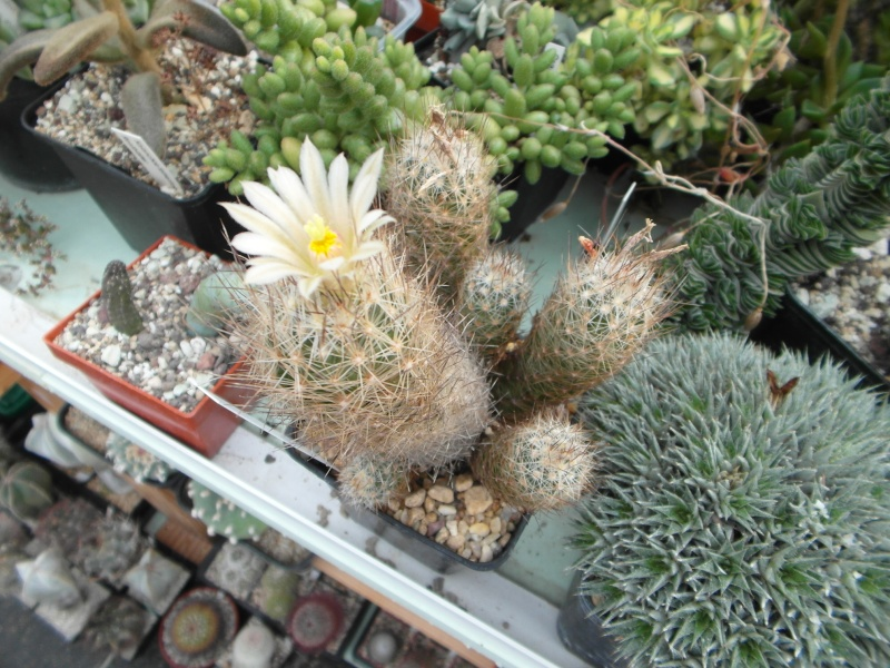 Cacti and Sukkulent in Köln, every day new flowers in the greenhouse Part 80 Bild1694
