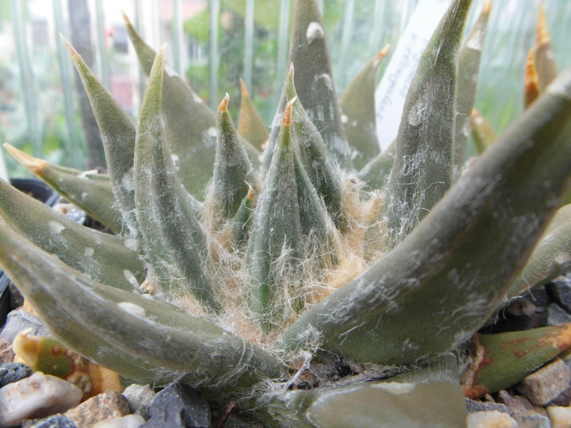 Cacti and Sukkulent in Köln, every day new flowers in the greenhouse Part 80 Bild1696