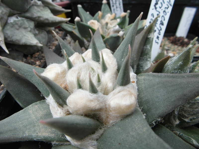 Cacti and Sukkulent in Köln, every day new flowers in the greenhouse Part 80 Bild1697
