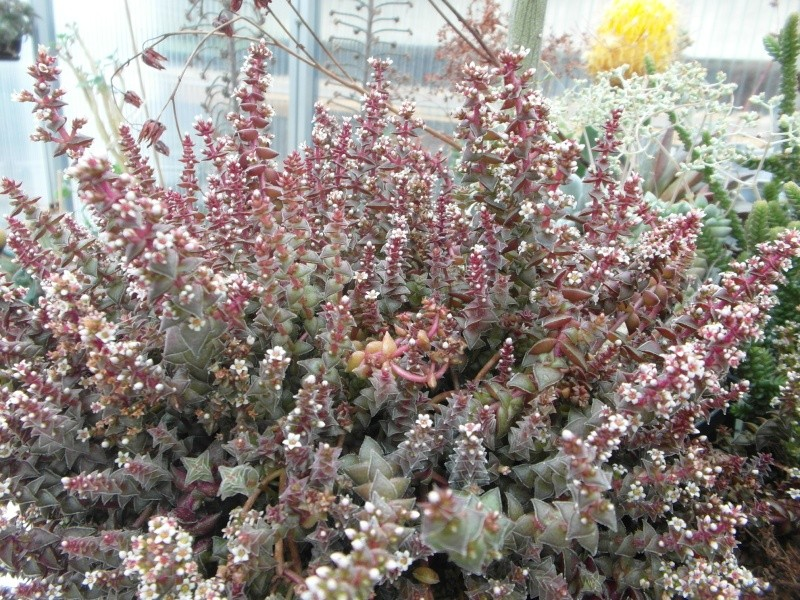 Cacti and Sukkulent in Köln, every day new flowers in the greenhouse Part 80 Bild1705
