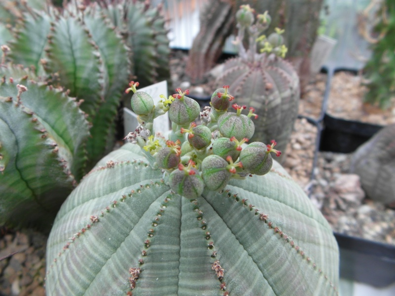 Cacti and Sukkulent in Köln, every day new flowers in the greenhouse Part 80 Bild1707