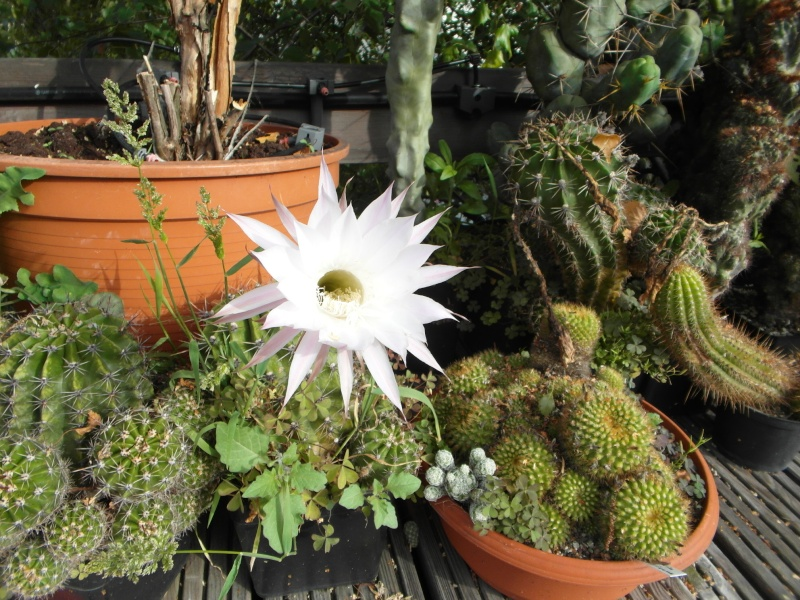 Cacti and Sukkulent in Köln, every day new flowers in the greenhouse Part 80 Bild1716