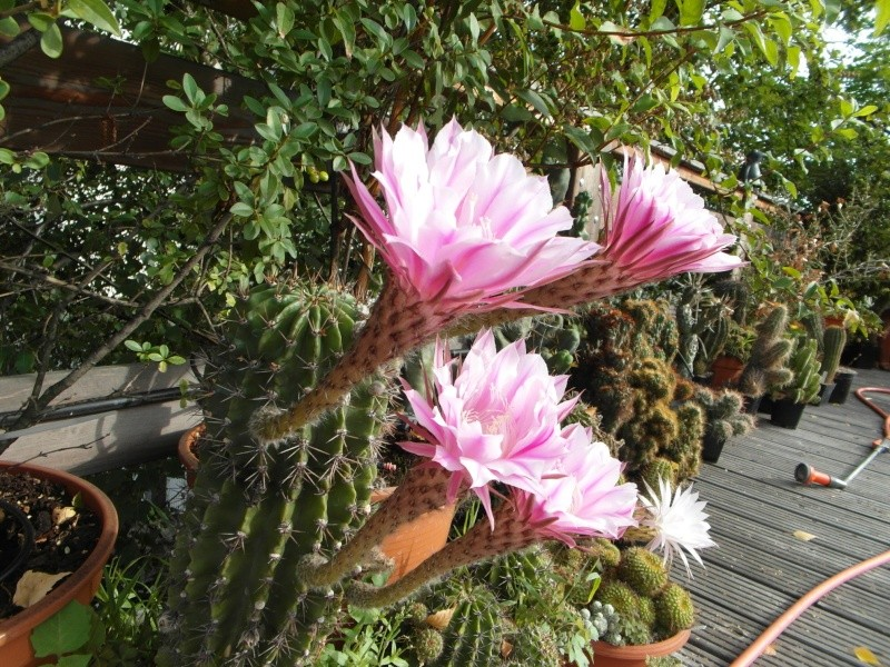 Cacti and Sukkulent in Köln, every day new flowers in the greenhouse Part 80 Bild1718