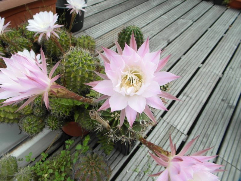 Cacti and Sukkulent in Köln, every day new flowers in the greenhouse Part 80 Bild1720