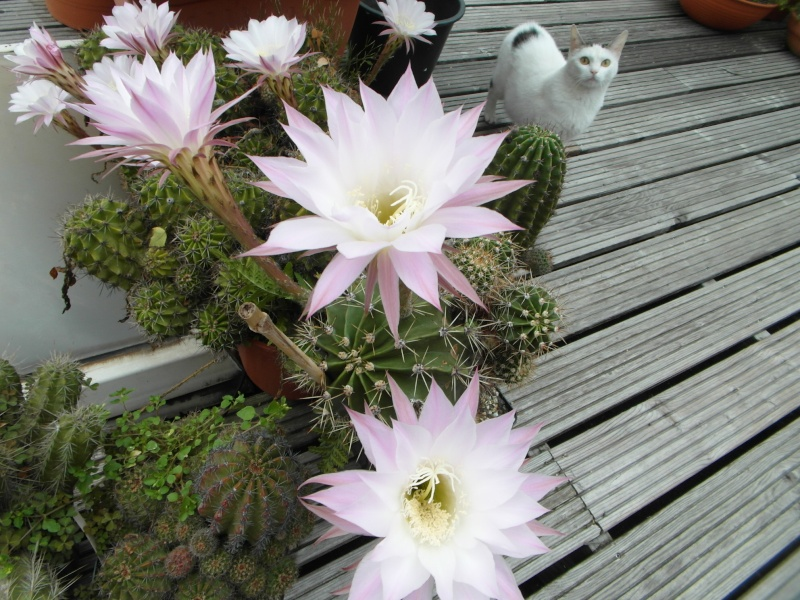 Cacti and Sukkulent in Köln, every day new flowers in the greenhouse Part 80 Bild1721