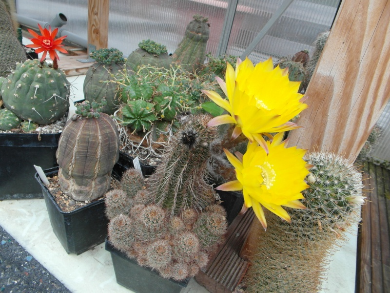 Cacti and Sukkulent in Köln, every day new flowers in the greenhouse Part 80 Bild1723