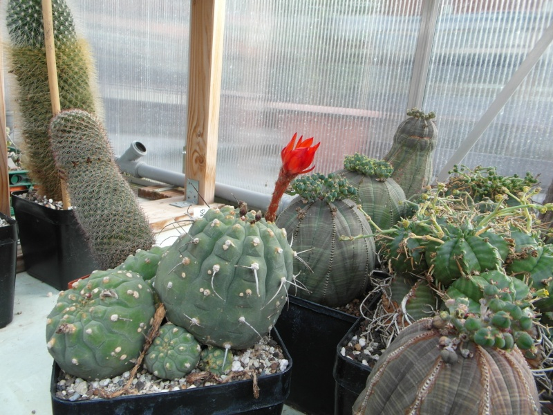 Cacti and Sukkulent in Köln, every day new flowers in the greenhouse Part 80 Bild1724