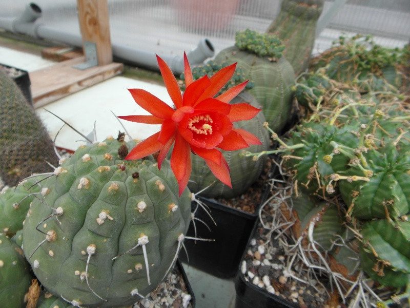 Cacti and Sukkulent in Köln, every day new flowers in the greenhouse Part 80 Bild1725