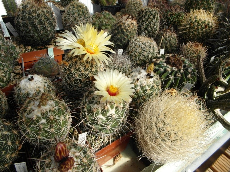 Cacti and Sukkulent in Köln, every day new flowers in the greenhouse Part 82 Bild1847