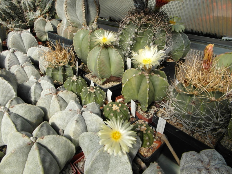 Cacti and Sukkulent in Köln, every day new flowers in the greenhouse Part 82 Bild1854