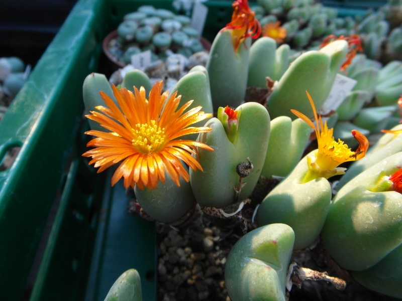Cacti and Sukkulent in Köln, every day new flowers in the greenhouse Part 82 Bild1855