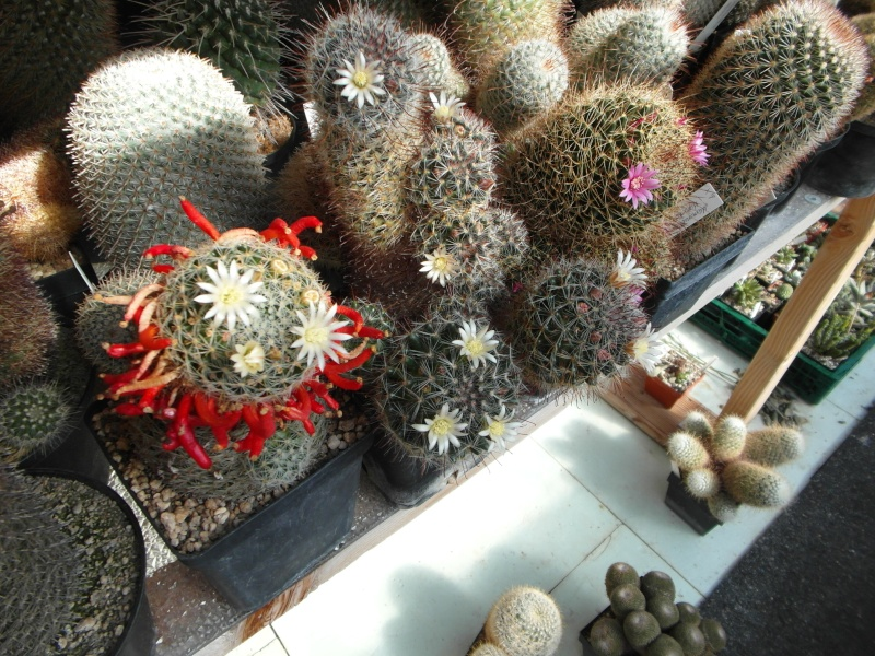 Cacti and Sukkulent in Köln, every day new flowers in the greenhouse Part 82 Bild1864