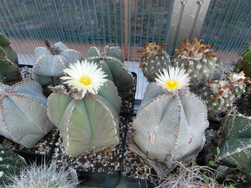 Cacti and Sukkulent in Köln, every day new flowers in the greenhouse Part 82 Bild1869
