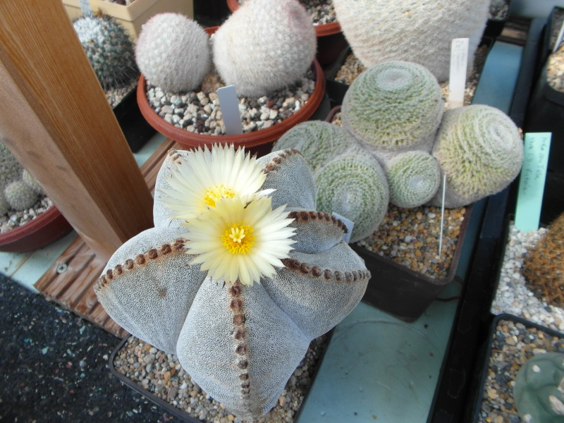 Cacti and Sukkulent in Köln, every day new flowers in the greenhouse Part 82 Bild1872