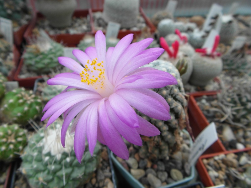 Cacti and Sukkulent in Köln, every day new flowers in the greenhouse Part 82 Bild1884