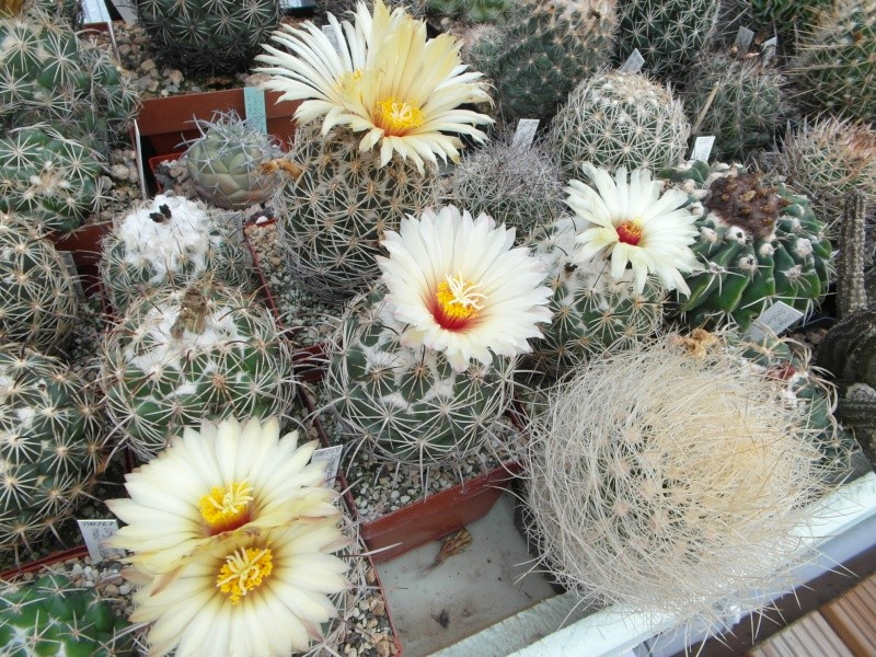Cacti and Sukkulent in Köln, every day new flowers in the greenhouse Part 82 Bild1885