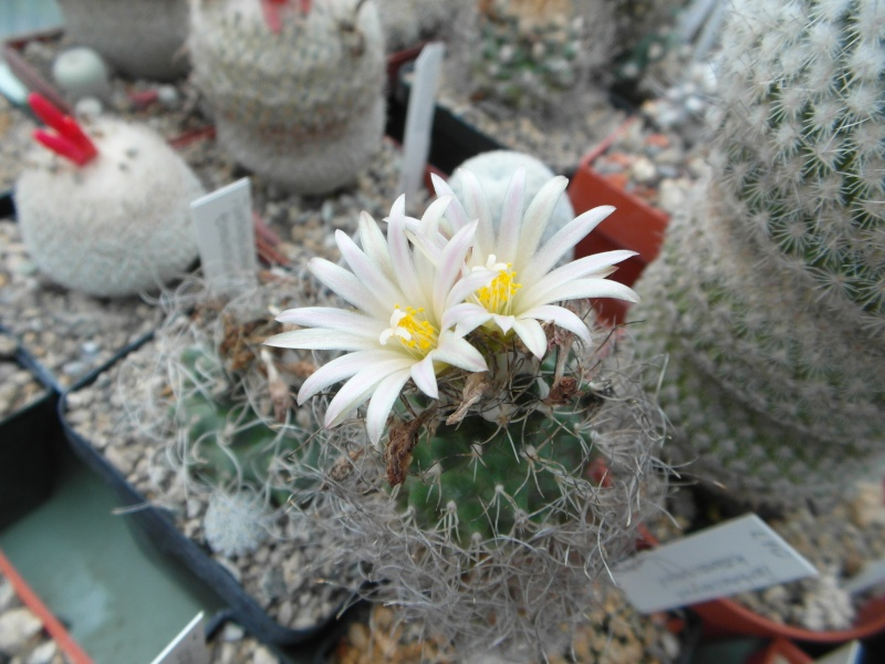 Cacti and Sukkulent in Köln, every day new flowers in the greenhouse Part 82 Bild1894