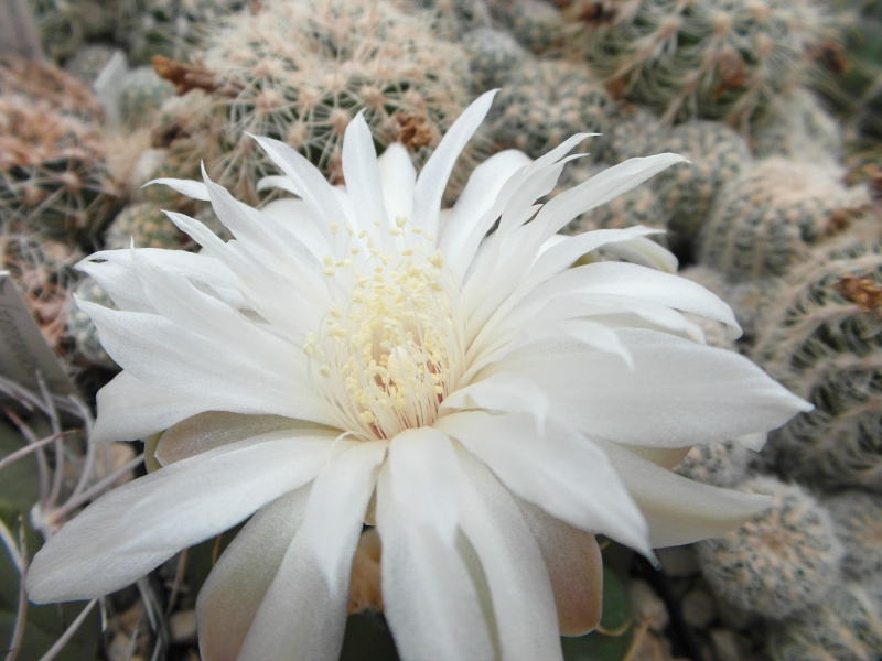 Cacti and Sukkulent in Köln, every day new flowers in the greenhouse Part 82 Bild1909