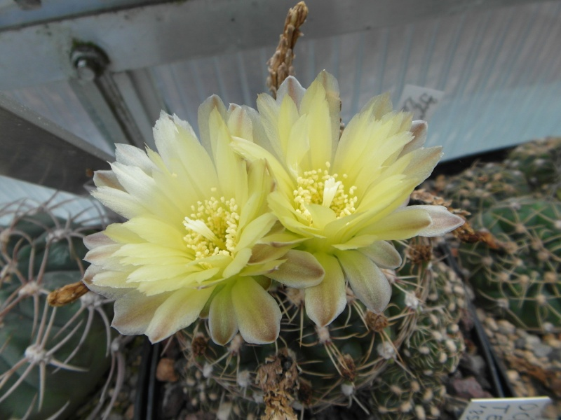 Cacti and Sukkulent in Köln, every day new flowers in the greenhouse Part 82 Bild1912