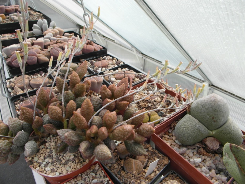 Cacti and Sukkulent in Köln, every day new flowers in the greenhouse Part 82 Bild1924