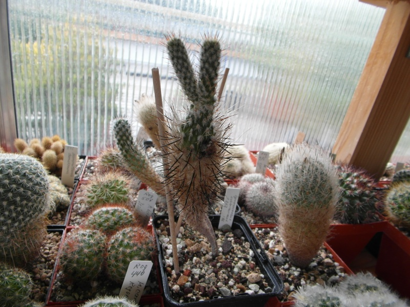 Cacti and Sukkulent in Köln, every day new flowers in the greenhouse Part 82 Bild1925