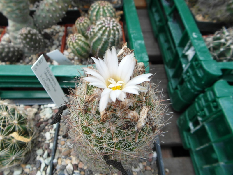 Cacti and Sukkulent in Köln, every day new flowers in the greenhouse Part 82 Bild1929