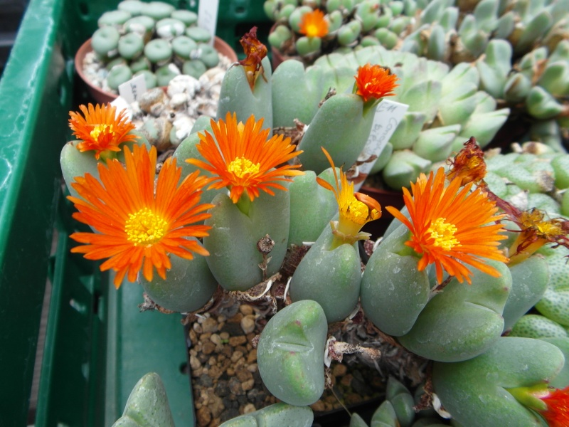 Cacti and Sukkulent in Köln, every day new flowers in the greenhouse Part 82 Bild1932