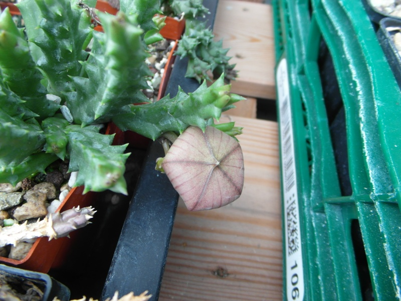 Cacti and Sukkulent in Köln, every day new flowers in the greenhouse Part 82 Bild1935